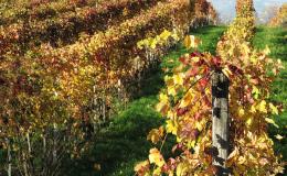 cosimo vigne autunno
