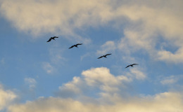 Armando uccelli in volo
